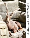 Small photo of an alpine ibex resting