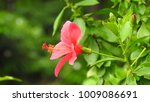 hibiscus pink and red flower ... | Shutterstock . vector #1009086691