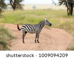 the plains zebra  also known as ... | Shutterstock . vector #1009094209