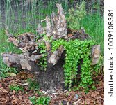 Small photo of Old Dry Tree Intricate Flipped Stump With Climbing Plant At The Mulched Footpath. Modern Garden Decorative Element. Landscaping Element.