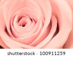 Stock photo close up of pink rose petals 100911259