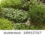 assortment of micro greens....   Shutterstock . vector #1009127317