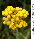 Immortelle Aka Curry Plant And...