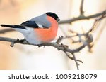 eurasian  common  bullfinch ... | Shutterstock . vector #1009218079