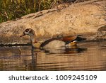 Small photo of Egyptian Goose (Alopochen aegyptiacca)