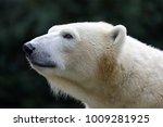 polar bear close up   Shutterstock . vector #1009281925