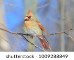 Small photo of Beautiful female cardinal in winter
