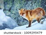 red fox in winter. fox on snow. ... | Shutterstock . vector #1009295479