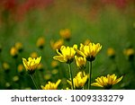 chrysanthemum flower in the farm | Shutterstock . vector #1009333279
