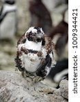 Small photo of Molting African penguin (Spheniscus demersus) at Betty's Bay, near Cape Town, South Africa