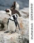 Small photo of African penguin (Spheniscus demersus) preening at Betty's Bay, near Cape Town, South Africa