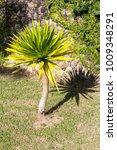 Small photo of Yucca flacida plant in garden (Agavaceae)