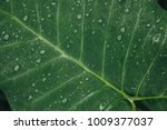 drops of water on green leaves... | Shutterstock . vector #1009377037