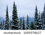 Tall Evergreen Trees On A...
