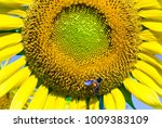 sunflower  flower yellow | Shutterstock . vector #1009383109