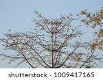 leaf of bombax ceiba tree with... | Shutterstock . vector #1009417165