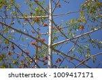 leaf of bombax ceiba tree with... | Shutterstock . vector #1009417171