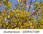 leaf of bombax ceiba tree with... | Shutterstock . vector #1009417189