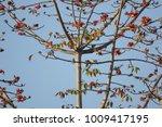 leaf of bombax ceiba tree with... | Shutterstock . vector #1009417195