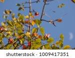 leaf of bombax ceiba tree with... | Shutterstock . vector #1009417351
