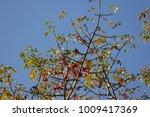 leaf of bombax ceiba tree with... | Shutterstock . vector #1009417369