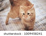 Stock photo ginger cat on the bed 1009458241