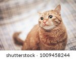Stock photo ginger cat on the bed 1009458244