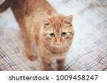 Stock photo ginger cat on the bed 1009458247