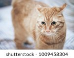 Stock photo ginger cat on the bed 1009458304