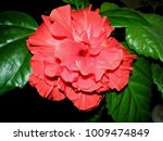 bright pink large flower of... | Shutterstock . vector #1009474849