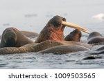 walrus is a terrible animal... | Shutterstock . vector #1009503565