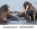 walrus is a terrible animal... | Shutterstock . vector #1009503895