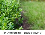 fresh green buxus leaves in the ... | Shutterstock . vector #1009645249