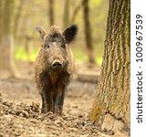 wild wild boar   Shutterstock . vector #100967539