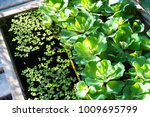 Small photo of Water weed plant