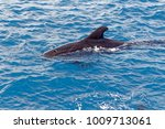 short finned pilot whales and... | Shutterstock . vector #1009713061