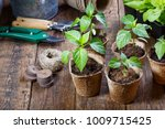 young paprika seedling sprouts... | Shutterstock . vector #1009715425