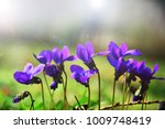 blooming in spring close up.... | Shutterstock . vector #1009748419
