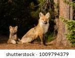a young red fox sits with its... | Shutterstock . vector #1009794379