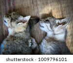 neutering dogs and cats in... | Shutterstock . vector #1009796101