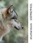 Small photo of Timber Wolf Profile
