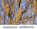 hazelnut flower late winter ... | Shutterstock . vector #1009852195