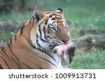 Tiger In Grass And Eating