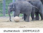 Elephants Playing With Sticks...