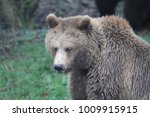 big grizzly bear | Shutterstock . vector #1009915915