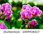 pink phalaenopsis or moth...   Shutterstock . vector #1009928317