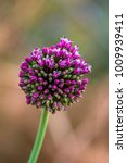 "Small photo of Allium Sativum is the Latin name of this purple flower, which literally means ""cultuvate garlic"""