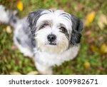 portrait of a cute shih tzu mix ...   Shutterstock . vector #1009982671