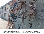 dry vine grapes on ancient... | Shutterstock . vector #1009995967