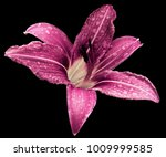 Pink White Flower  Lily On The...